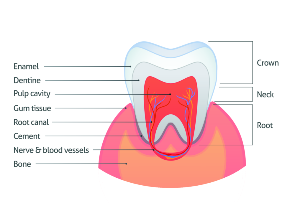Bone Grafting Lafayette LA | A diagram of a tooth, root and jaw bone